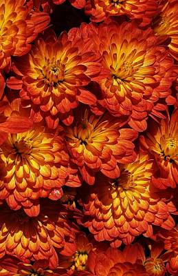 Photograph - Mums Galore by Bruce Bley