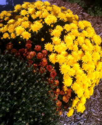 Art Print featuring the photograph Mums In The Fall by Deborah Fay
