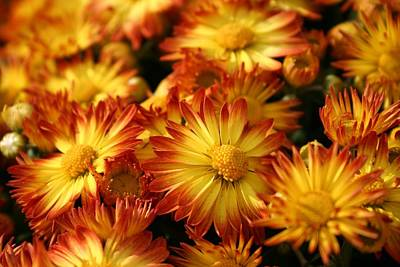 Photograph - Mums by Robin Mahboeb