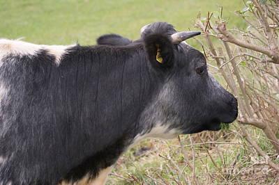 Munching Cow 1 Art Print by Carol Lynch