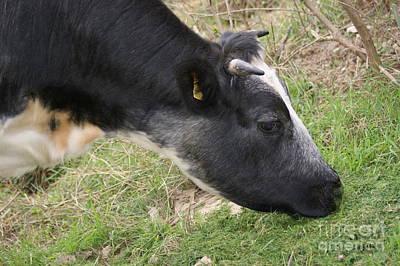 Munching Cow 2 Art Print by Carol Lynch