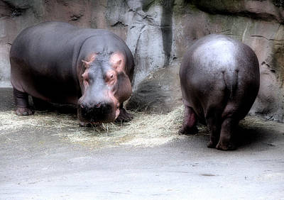 Photograph - Munching Hippos by Lora Fisher