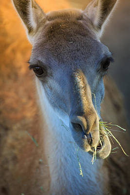 Photograph - Munching Llama by Matthew Onheiber