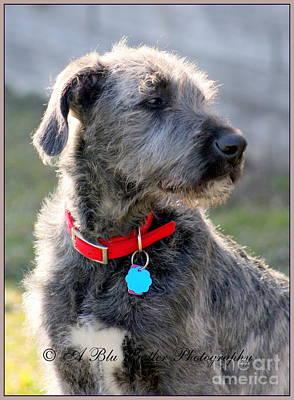 Irish Wolfhound Photograph - Murphy by Ann Butler
