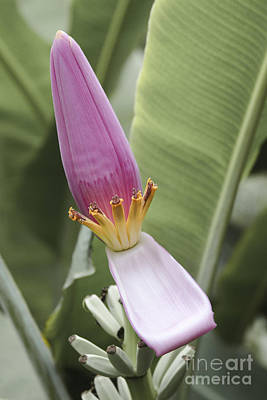 Photograph - Musa Ornata - Pink Ornamental Banana Flower - Maui Hawaii by Sharon Mau