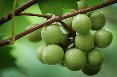 Muscadine Green Art Print by James Barber