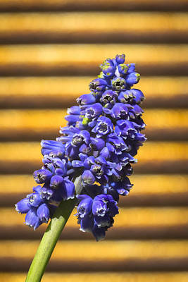 Spring Bulbs Photograph - Muscari And Rust by Caitlyn  Grasso