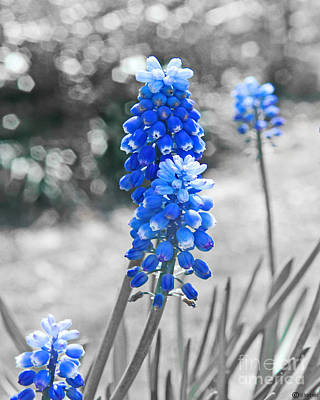 Digital Art - Muscari Blues by Lizi Beard-Ward