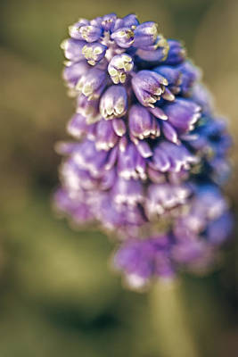 Photograph - Muscari by Caitlyn  Grasso
