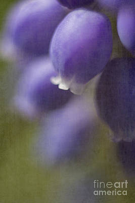 Hyacinths Wall Art - Photograph - Muscari by Elena Nosyreva