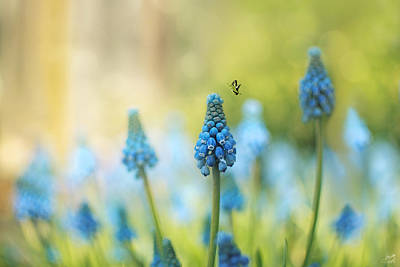 Photograph - Muscari Faerie Land by Lisa Knechtel