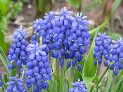 Art Print featuring the photograph Muscari Up Close by Margaret Newcomb