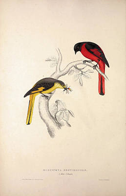 Asian Artist Drawing - Muscipeta Brevirostris. Birds From The Himalaya Mountains by Quint Lox