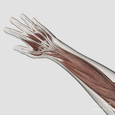 Muscular Digital Art - Muscle Anatomy Of Human Arm And Hand by Stocktrek Images