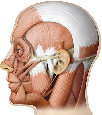 Photograph - Muscle Of The Head, Lateral View by QA International