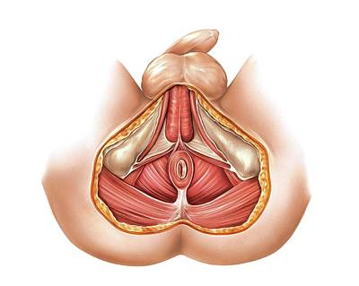 Anal Photograph - Muscles Of Perineum by Asklepios Medical Atlas
