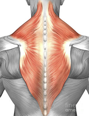 Physiology Digital Art - Muscles Of The Back And Neck by Stocktrek Images