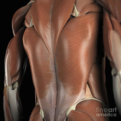 Photograph - Muscles Of The Back by Science Picture Co