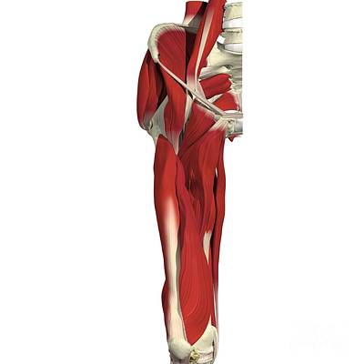 Muscles Of The Hip And Thigh Art Print by Medical Images, Universal Images Group