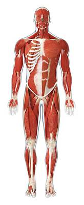 The Human Body Photograph - Muscles Of The Human Body by Dorling Kindersley/uig