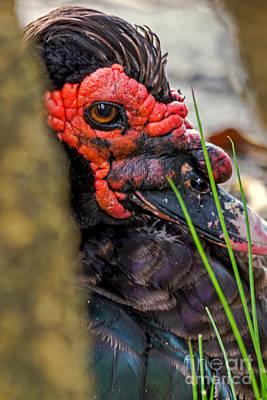 Photograph - Muscovy Candid by Kate Brown
