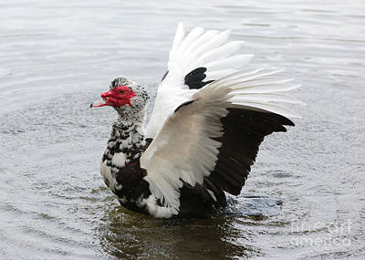 Muscovy Duck Wings Print by Carol Groenen