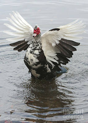 Photograph - Muscovy Magic by Carol Groenen