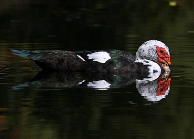 Photograph - Muscovy Reflections  by Erin Tucker