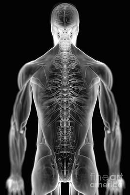Photograph - Musculoskeletal Anatomy by Science Picture Co