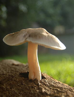 Photograph - Mushroom At Dawn by Tamyra Crossley
