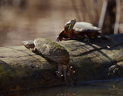 Waterdog Photograph - Musk And Painted Turtles by Eric Abernethy