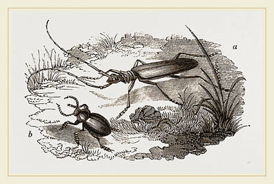 Beetle Drawing - Musk-beetle And Catehweed-beetle by Litz Collection