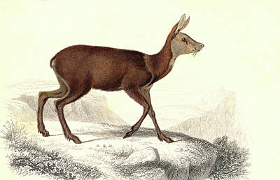 Musk Deer Art Print by Collection Abecasis