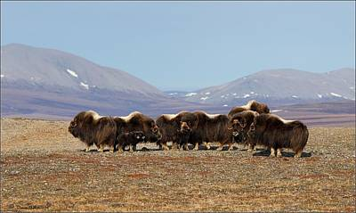Photograph - Musk Ox Family by Daniel Behm
