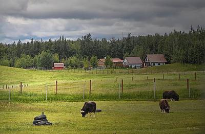 Photograph - Musk Ox Grazing by Dyle   Warren