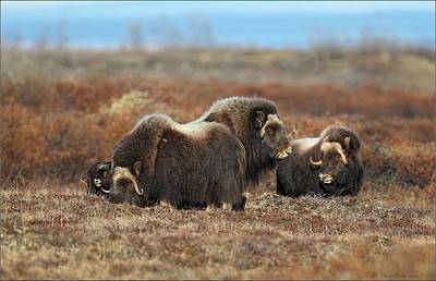 Photograph - Musk Ox On The Tundra In Alaska by Daniel Behm