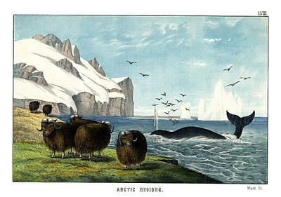 Arctic Drawing - Musk Ox by Splendid Art Prints