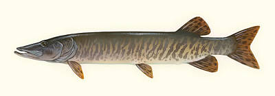 Muskie Drawing - Muskellunge  by Mountain Dreams