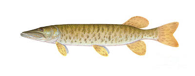 Muskie Art Print by Carlyn Iverson