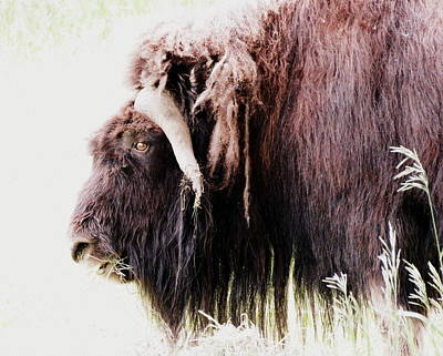 Muskox Art Print by Ramona Johnston