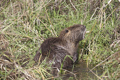 Photograph - Muskrat - 0005 by S and S Photo