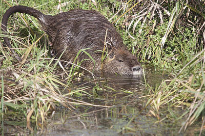 Photograph - Muskrat - 0006 by S and S Photo