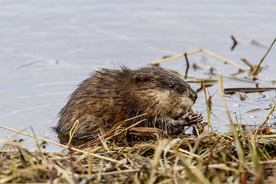 Photograph - Muskrat by Doug Lloyd