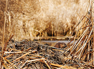 Photograph - Muskrat Home Repair by Edward Peterson