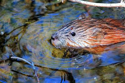 Print featuring the photograph Muskrat by Larry Trupp