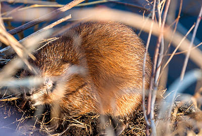 Photograph - Muskrat Out Of The Water by Edward Peterson