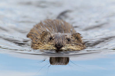 Muskrat Swimming Art Print by Ken Archer