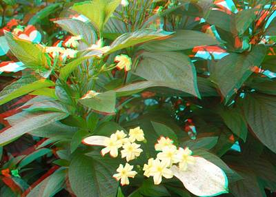Photograph - Mussaenda 3d by Ron Davidson