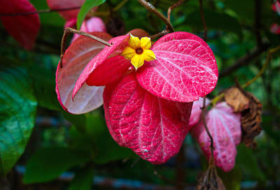 Flower Photograph - Mussaenda by Robert Meyers-Lussier