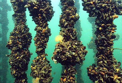 Mussel Wall Art - Photograph - Mussel Farming by Louise Murray/science Photo Library